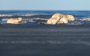 Picture winter, sea, wave, white, water, snow, nature, pose, shore, ice, bear, bears, bathing, three, bears, ...