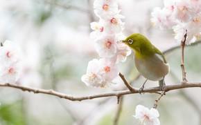 Picture flowers, branches, cherry, bird, branch, spring, Sakura, white, flowering, Japanese white-eye