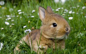 Picture greens, summer, grass, flowers, nature, grey, glade, hare, chamomile, rabbit, baby, animal, Bunny, rodent, rabbit, …