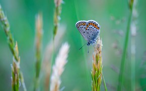 Picture Macro, Butterfly, Plant, Insect, Macro, Insect, Blue Butterfly, Close-Up, Egor Kamelev, by Egor Kamelev, Common …