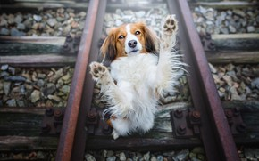 Picture look, face, pose, stones, rails, dog, paws, railroad, red, sleepers, view, stand, kooikerhondje