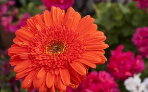 Picture macro, gerbera, bright