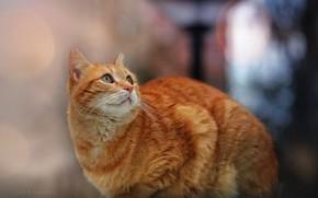 Picture cat, cat, look, red, bokeh, cat