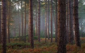 Picture pine forest, fog, pine, trees, trunks, fern, branches, forest