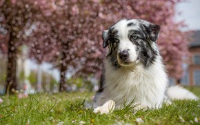 Picture grass, look, face, light, trees, nature, pose, trunks, street, portrait, dog, spring, garden, lies, white, …