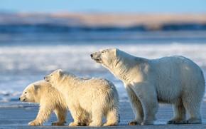 Picture winter, white, look, light, snow, nature, pose, shore, bear, bears, three, bears, polar bear, trio, …