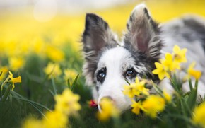 Picture eyes, look, face, flowers, background, portrait, dog, spring, yellow, puppy, ears, daffodils, spotted, Australian shepherd, …