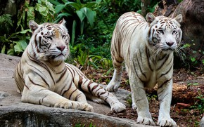 Picture nature, tiger, pair, white, tigers, two, two tigers