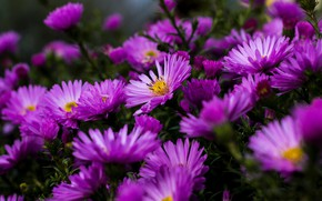Picture flowers, bright, lilac, asters