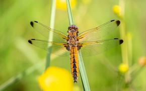 Picture macro, yellow, nature, green, background, dragonfly, insect, wings, a blade of grass