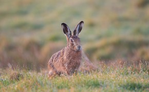 Picture field, grass, look, face, nature, grey, background, hare, Bunny