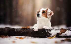 Picture winter, leaves, snow, nature, animal, dog, log, dog
