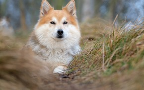 Picture grass, look, face, dog, blur, Icelandic Sheepdog, The Icelandic Sheepdog