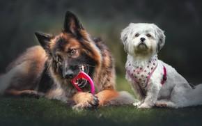 Picture two dogs, German shepherd, Shih Tzu