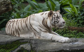 Picture white, nature, tiger, lies