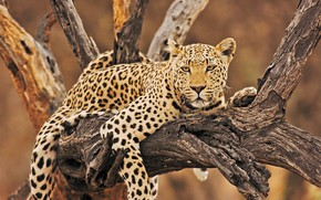 Picture look, stay, relax, leopard, snag, wild cat