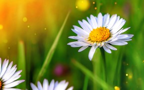 Picture macro, background, Daisy