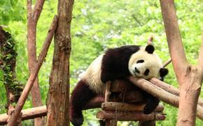 Picture pose, stay, design, sleep, bear, bear, Panda, sleeping, zoo, logs