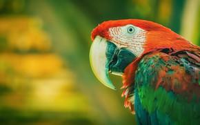 Picture look, bird, portrait, parrot, green background, Ara