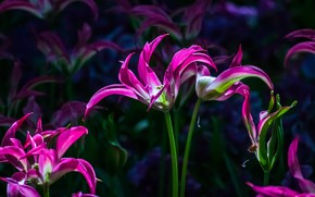 Picture light, flowers, the dark background, spring, petals, tulips, buds, flowerbed, a lot, lilac, grade