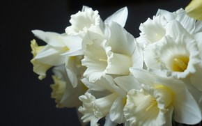 Picture flower, spring, Narcissus, pale yellow color