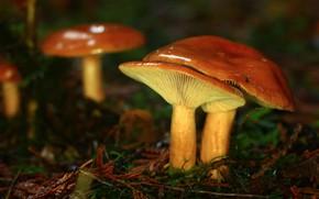 Picture mushrooms, family, boletus