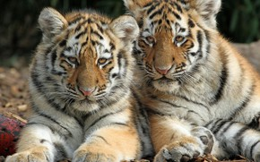 Picture kittens, wild cats, a couple, tigers, the cubs, cubs