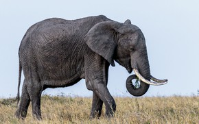 Picture elephant, ears, tusks