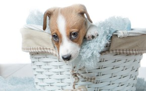 Picture basket, dog, puppy, face, basket, doggie, Jack Russell Terrier