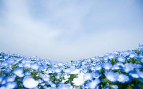 Picture field, nature, carpet, meadow, Nemophila