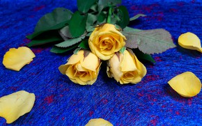 Picture flowers, rose, roses, bouquet, yellow, petals, blue background