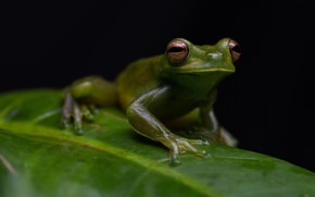Picture look, macro, leaf, frog, black background, green, pupils, reptile