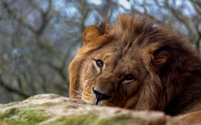 Picture look, face, Leo, the king of beasts, wild cat