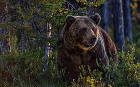 Wallpaper forest, nature, bear
