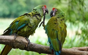 Picture birds, branches, pose, paws, green, parrot, pair, claws, parrots, Duo, two, bokeh, Ara, two parrots