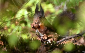 Picture forest, leaves, light, branches, background, blur, walnut, protein, squirrel, bokeh, rodent, meal