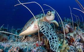 Picture reptile, sea turtle, sea bottom