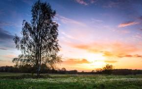 Picture field, sunset, spring, birch