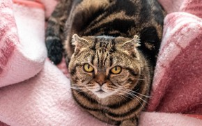 Picture cat, cat, look, bed, lies, blanket, tabby