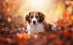 Picture autumn, look, face, leaves, light, yellow, nature, pose, glare, background, foliage, portrait, dog, lies, red, …