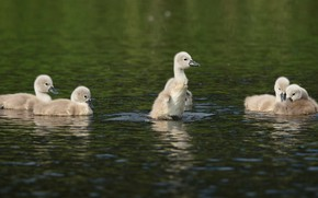 Picture birds, the dark background, kids, swans, Chicks, pond, flock, brood, the Lebeda