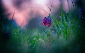 Picture flower, grass, the dark background, Bud, bokeh, forest, grouse chess