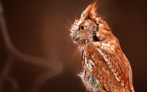 Picture background, owl, bird, profile, North American scoop
