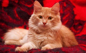 Wallpaper cat, cat, look, red, kitty, background, fluffy, blanket, red, lies, plaid, kitty, yellow eyes