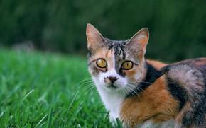Picture cat, grass, look, muzzle, cat