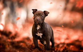 Picture dog, look, Park, friendly, leaves, mood, orange, American pit bull Terrier, falling leaves, autumn, red, …