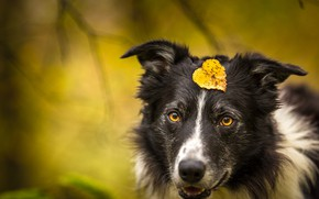 Picture autumn, look, face, branches, yellow, nature, background, leaf, portrait, dog, leaf, yellow eyes, the border …