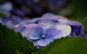 Picture flower, macro, hydrangea