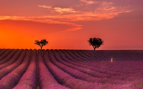 Picture summer, night, lavender
