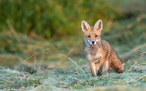 Picture grass, face, nature, Fox